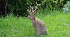 Рогатые кролики действительно существуют в природе